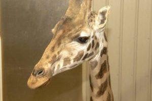 Tajiri has new giraffe companion, April's calf due in March